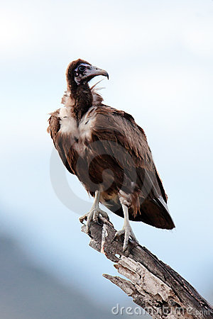 Black vulture sits on branch of a tree
