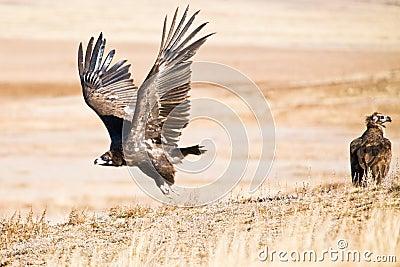 Black Vulture taking off