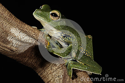 Black Webbed Glider Tree frog