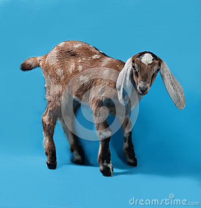Free Black, White And Red Nubian Lamb On Blue Stock Photos - 50952593