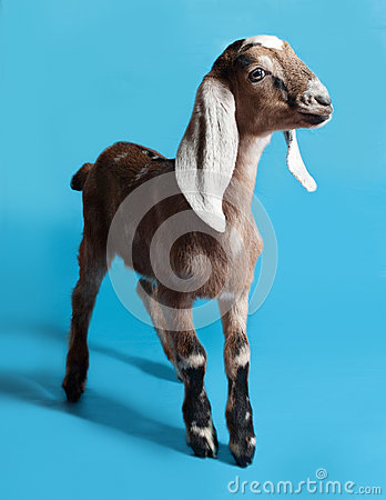 Free Black, White And Red Nubian Lamb On Blue Royalty Free Stock Photos - 50953758