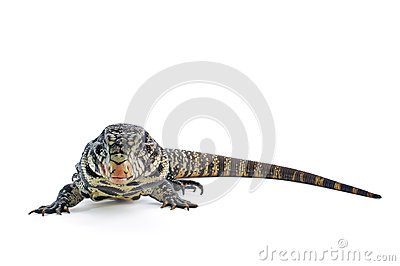 Black and White Argentine Tegu