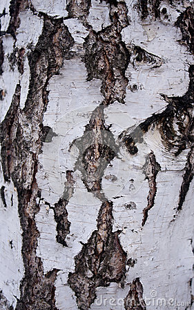 Black-and-white bark of a birch