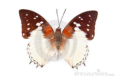 Black and white butterfly Charaxes hadrianus