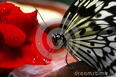Black And White Butterfly On Red Flower Free Public Domain Cc0 Image