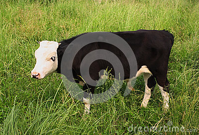 Black-and-white calf is grazed on meadow