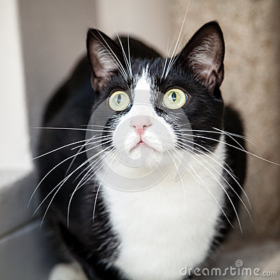 Black and White Cat with Green Eyes Looking Up Surprised