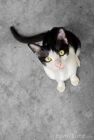 Black and white cat staring at camera