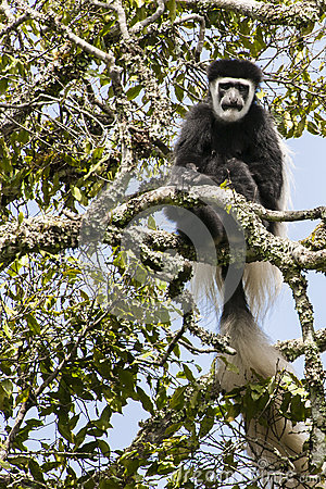 Black-and-white colobus moneky