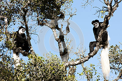 Black-and-white colobus monekys