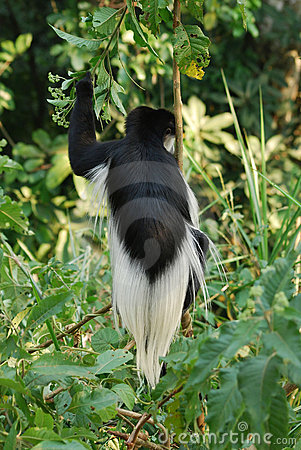 Black-and-white colobus monkey off the back