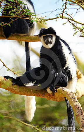 Black-and-white colobus monkeys