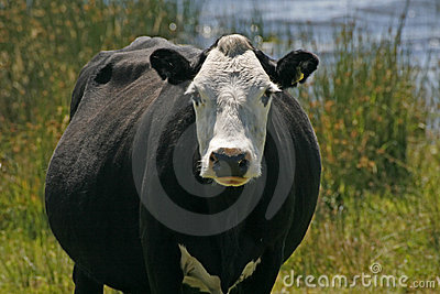 Black and white cow, England
