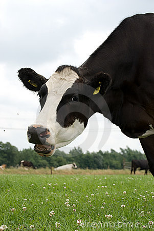 Free Black White Cow With Two Flies Stock Images - 2985224