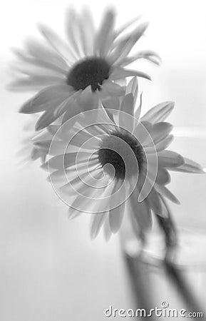 Free Black & White Daises Stock Images - 4910624