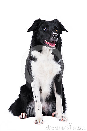 Black and white dog border collie isolated