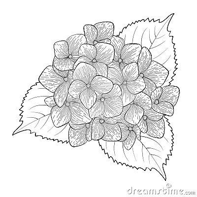 Hydrangea Flowers Drawing Sketch