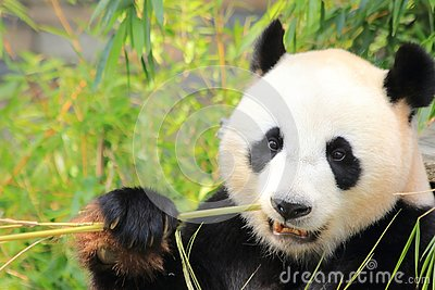 Black and white giant panda bear eating bamboo