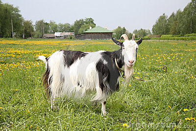 Black-and-white goat