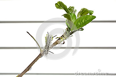 Black and white hickory tussock caterpillar