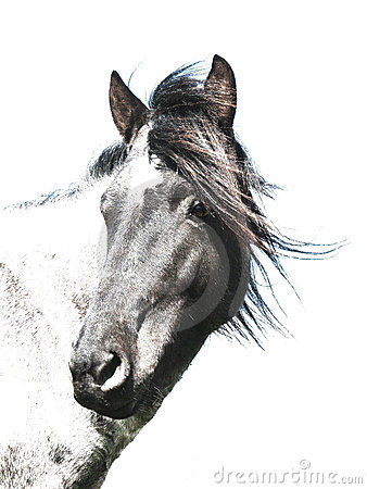 Black-and-white horse