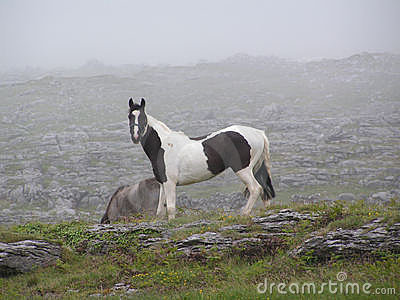A black and white horse (piebald) on a misty Irish mountain.