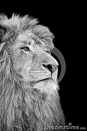 White lion face images - photo#24