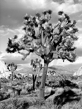 Black and white Joshua Tree