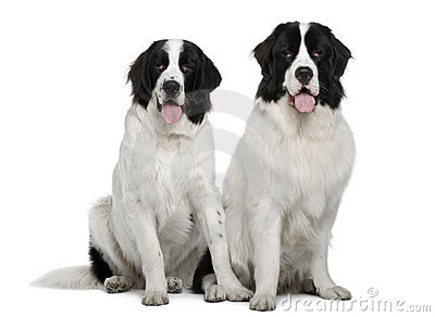 Black and white Landseer dogs, sitting