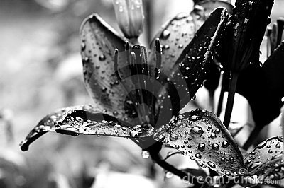 Black and white lilly