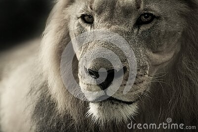 Black And White Lion Photograph Free Public Domain Cc0 Image