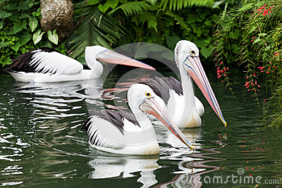 Black-and-white pelican