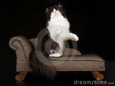 Black and white Persian on brown chaise