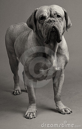 Black-and-white photo of Dogue De Bordeaux
