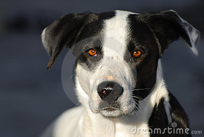 Black And White Pointer Dog Royalty Free Stock Photography ...