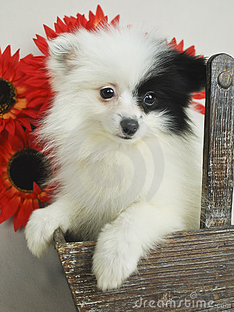 Black and White Pom Puppy