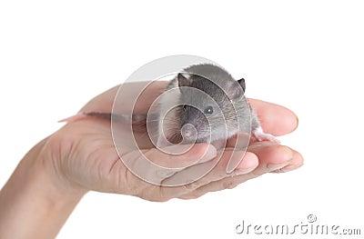 Black-and-white rat
