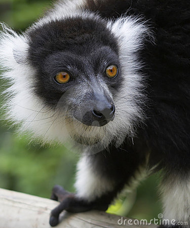 Free Black & White Ruffed Lemur. Stock Photo - 2433810