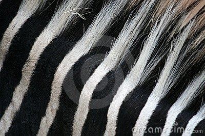 Black & White stripes on zebra