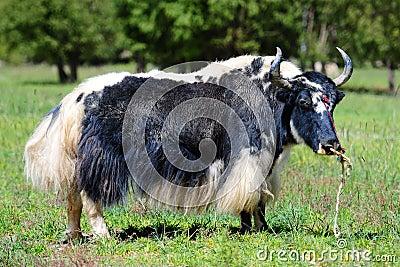 Black and white yak