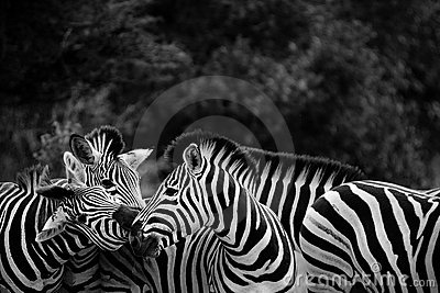 Black And White Zebra Herd Royalty Free Stock Photos - Image: 20814528: www.dreamstime.com/royalty-free-stock-photos-black-white-zebra-herd...