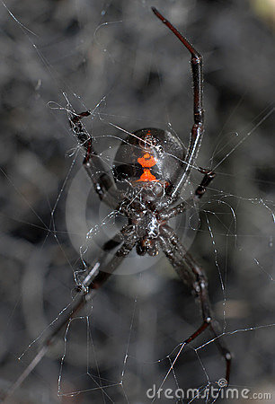 Free Black Widow Spider Stock Images - 11912124