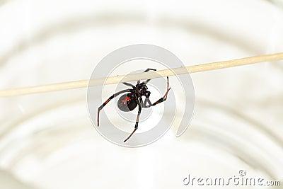 Black widow spider-2