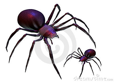 Black widow spiders isolated on white