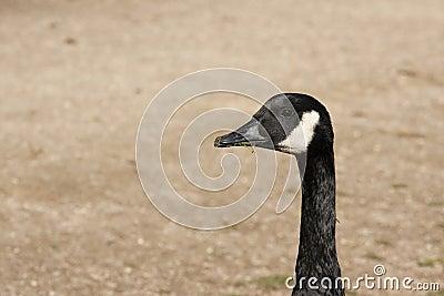 Black wild goose