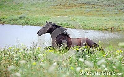 Black wild horse running gallop on the field