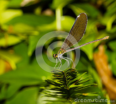Black wing damselfly
