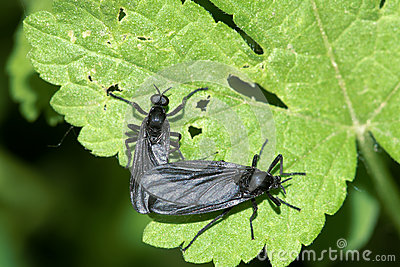 Black winged insect
