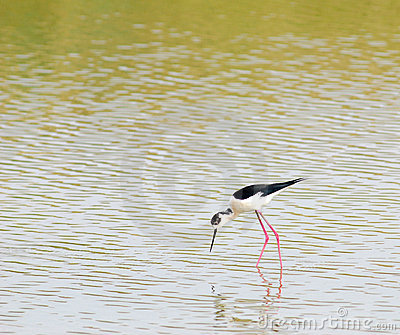 BLACK-WINGED STILT .