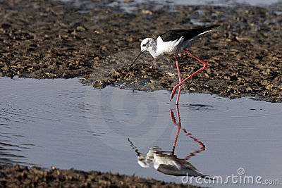Black-winged Stilt - Chobe River - Botswana